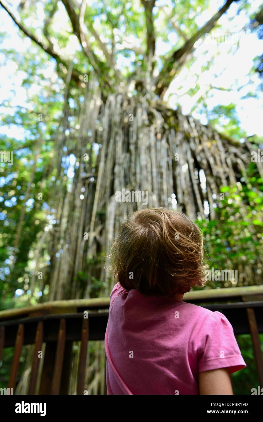 A child dwarfed by the Curtain Fig tree, curtain fig tree national park, Atherton Tablelands, QLD, Australia Stock Photo
