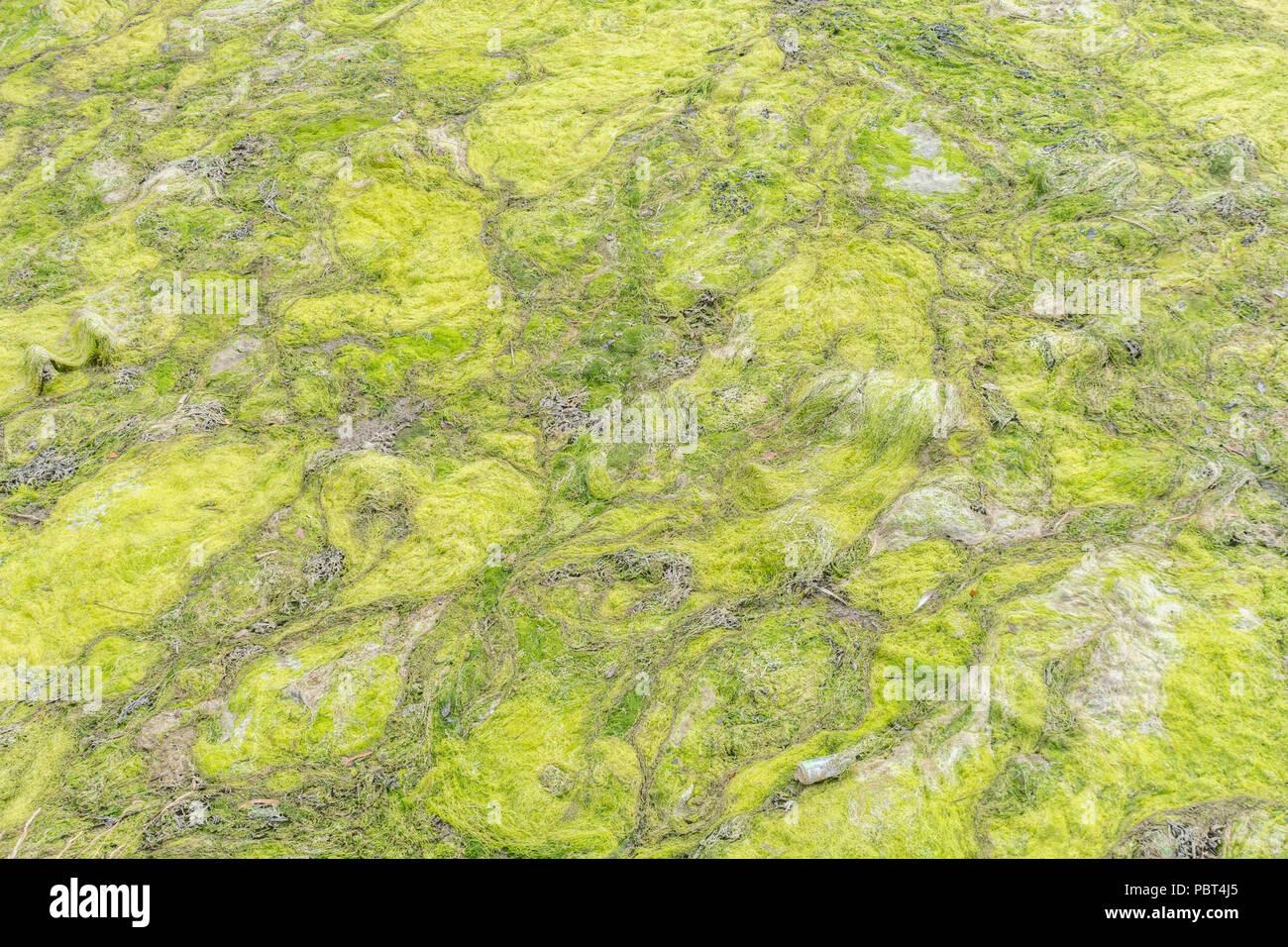 Tidal green algae on the estuarine river in Truro, Cornwall. - Stock Image
