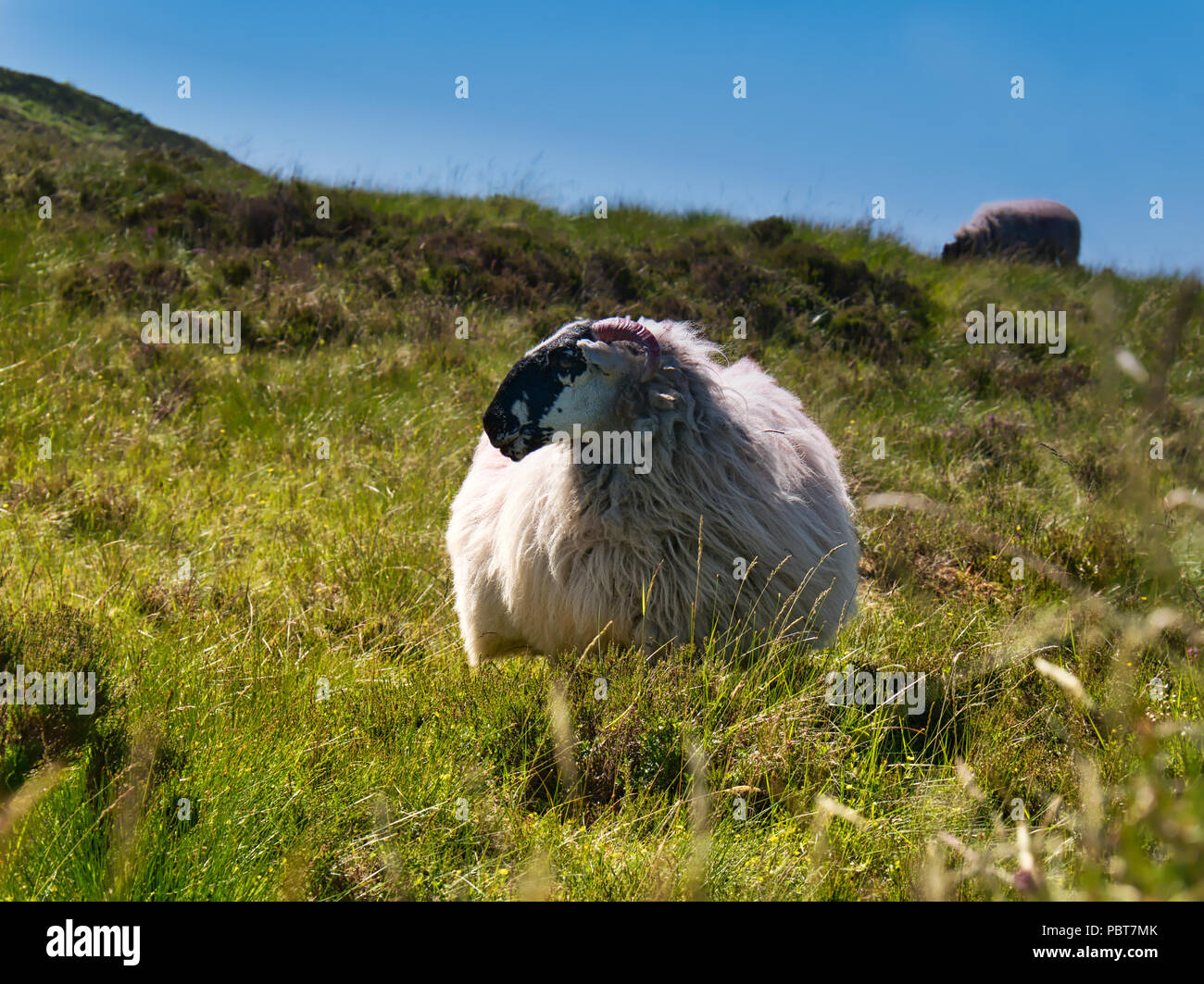 Sheep with thick fur in the middle of green and tall grass in the mountains of Ireland - Stock Image