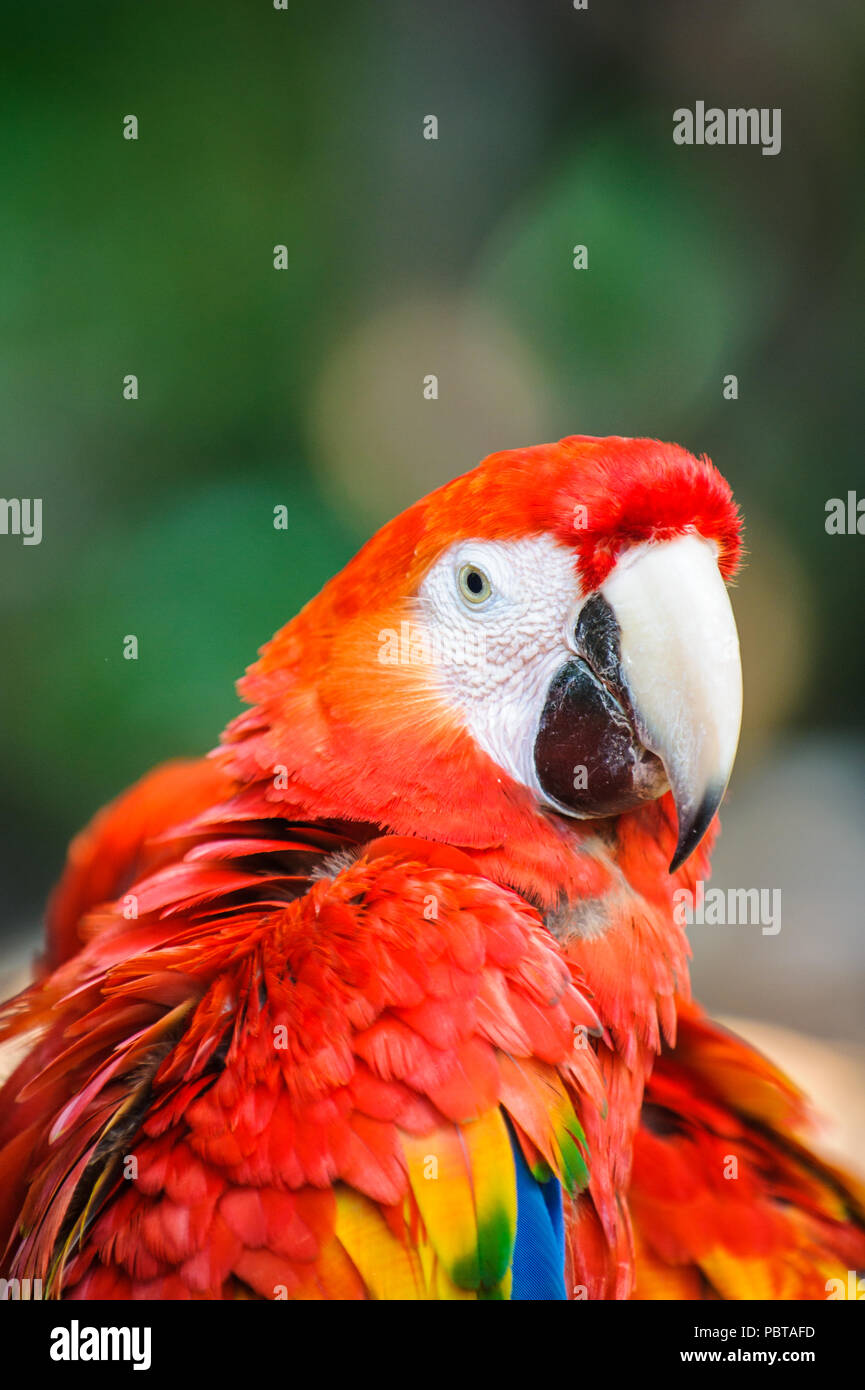 Ara, a Neotropical genus of macaws with eight extant species and at least two extinct species. - Stock Image