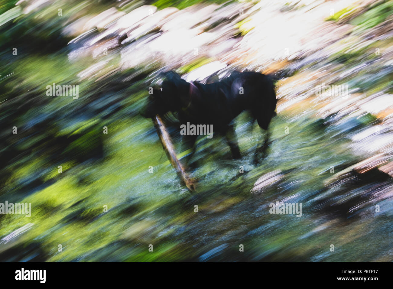 Blurring the image of a surface of the water of the stream illuminated by sunshine in which the dog runs is photographed on long endurance. - Stock Image
