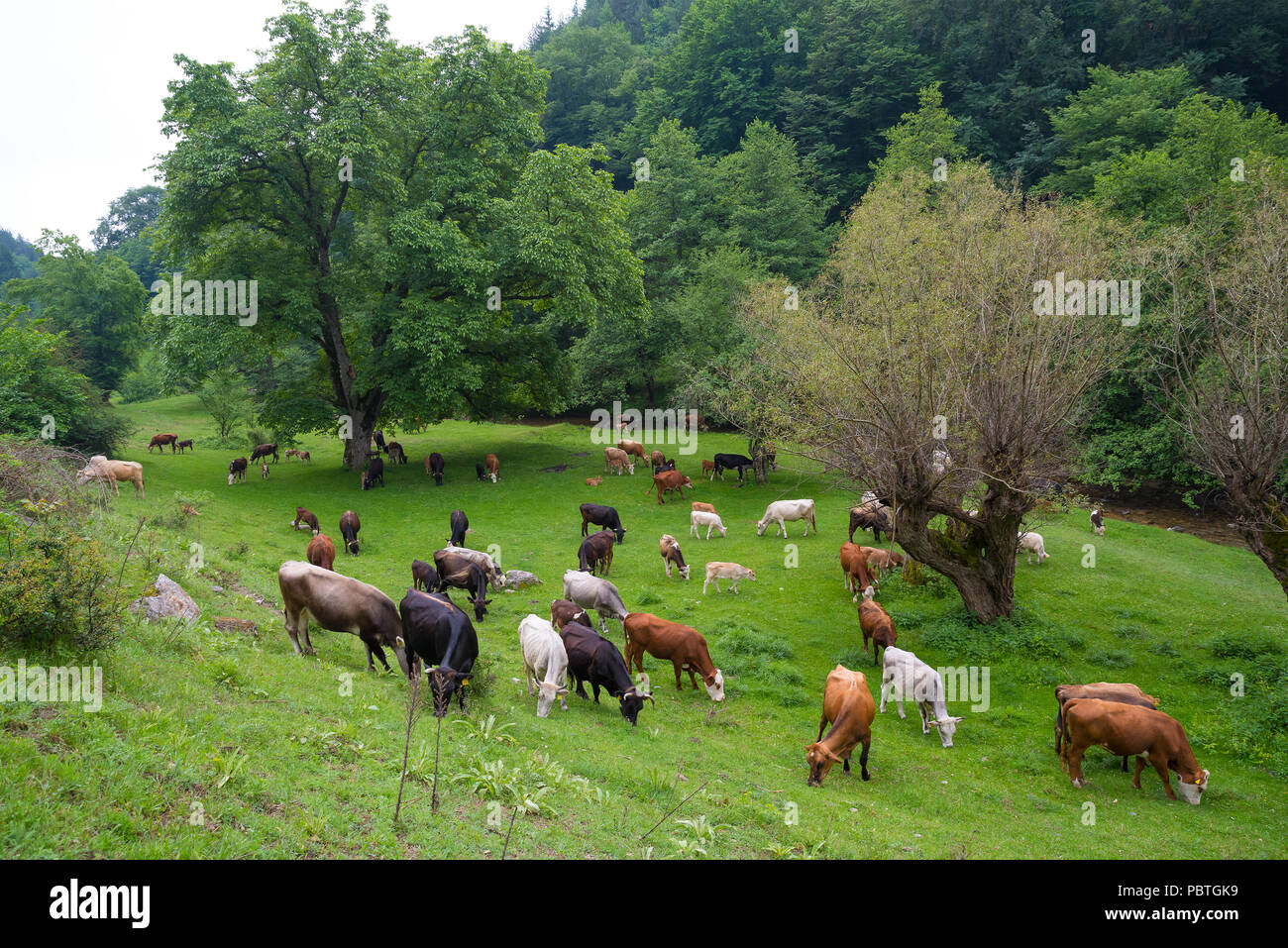 Herd of bulls, cows and calves grazing in meadow with fresh grass. Rancho. - Stock Image