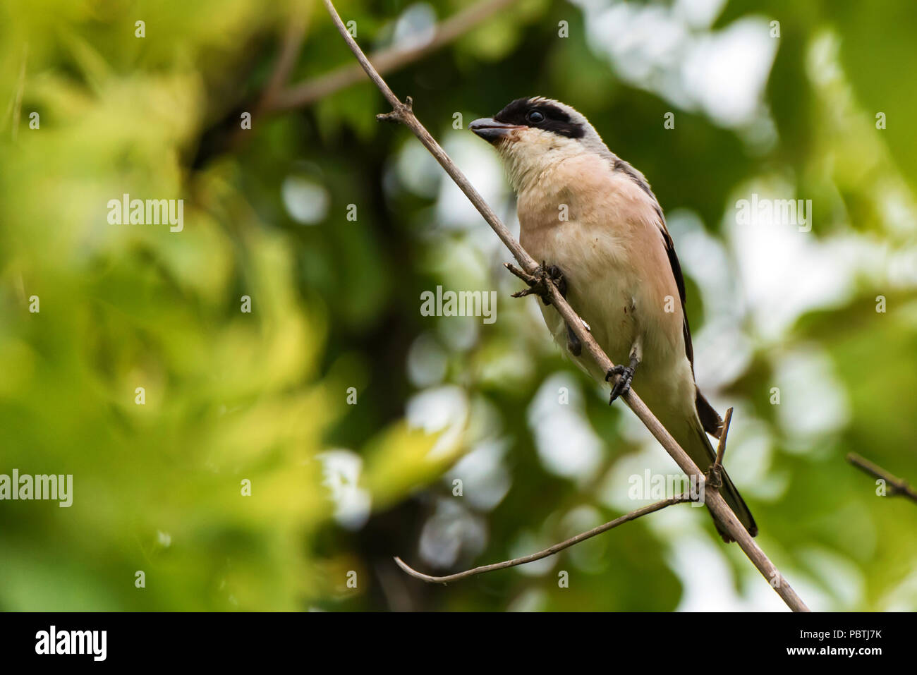 Lesser grey shrike or Lanius minor rests on branch Stock Photo