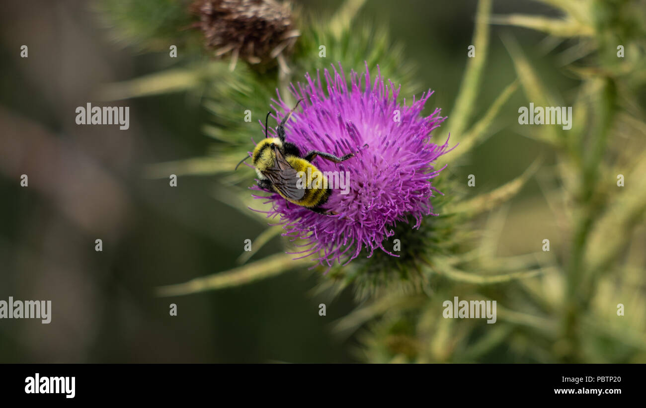 Golden Northern Bumblebee, Bombus fervidus, pollinating a Musk Thistle flower,Cardus nutans July 28 2018 Lakewood, Colorado USA - Stock Image