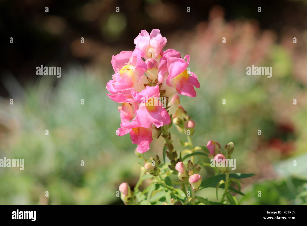 Small Pink White Flowers Stock Photos Small Pink White Flowers
