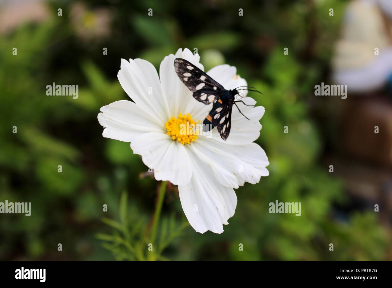 Garden cosmos or Cosmos bipinnatus or Mexican aster pure white flower with black and white wings tiger moth insect and dark leaves background on warm - Stock Image