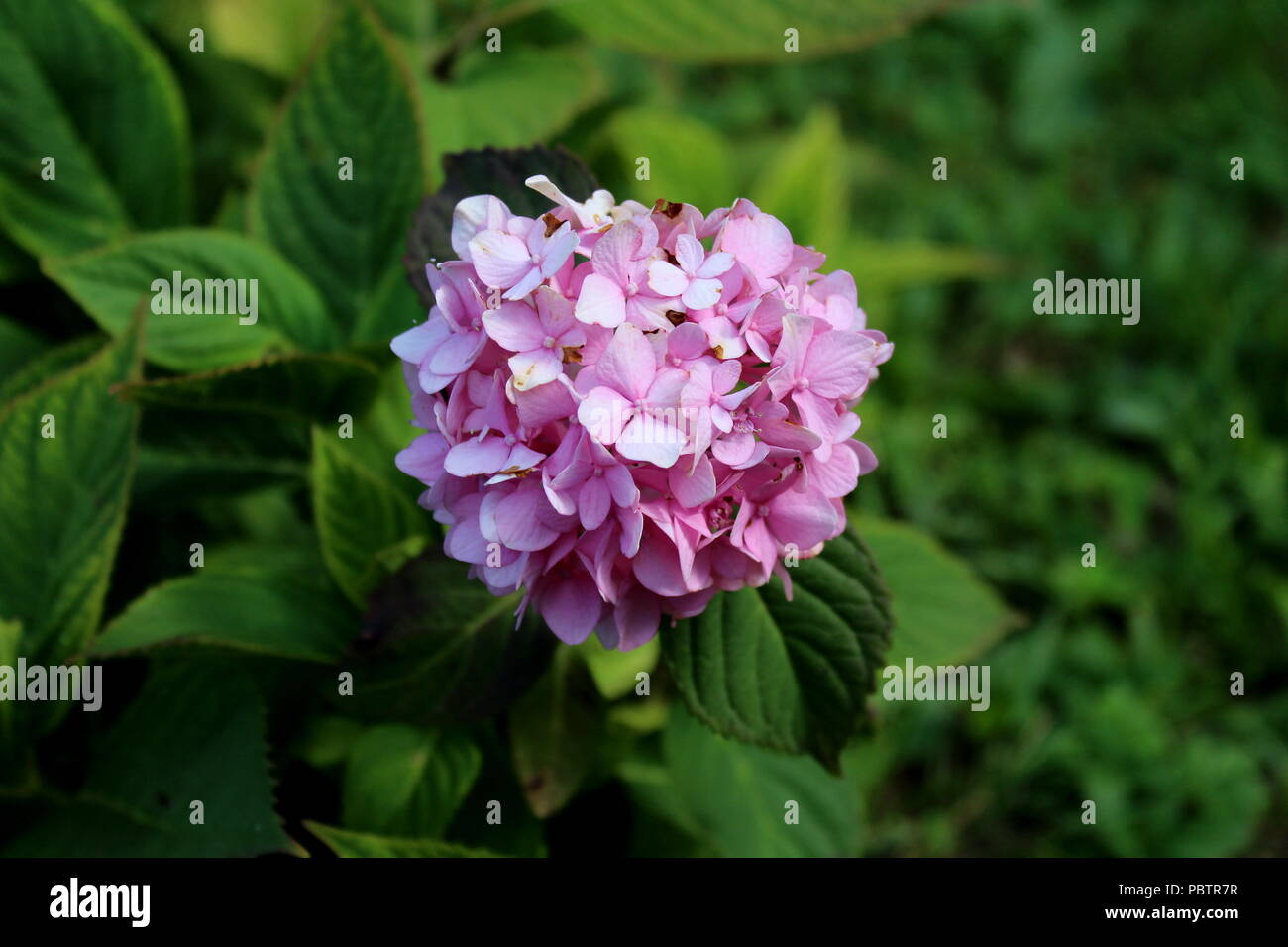 Hydrangea or hortensia garden shrub with multiple small dark pink hydrangea or hortensia garden shrub with multiple small dark pink flowers with pointy petals surrounded with thick green leaves and other garden veget mightylinksfo