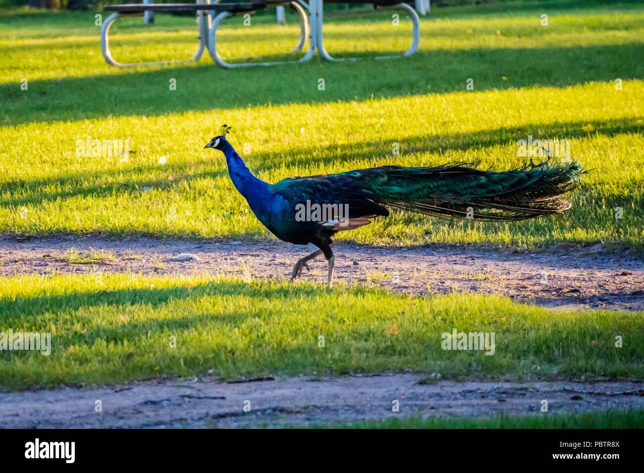 A Peafowl Peacock in Ham Lake, Minnesota - Stock Image