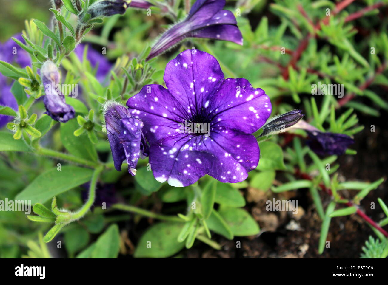 Petunia Night Sky flowers with starry white on purple pattern sparkles like the night sky or constellation of bright white stars that shines on the da - Stock Image