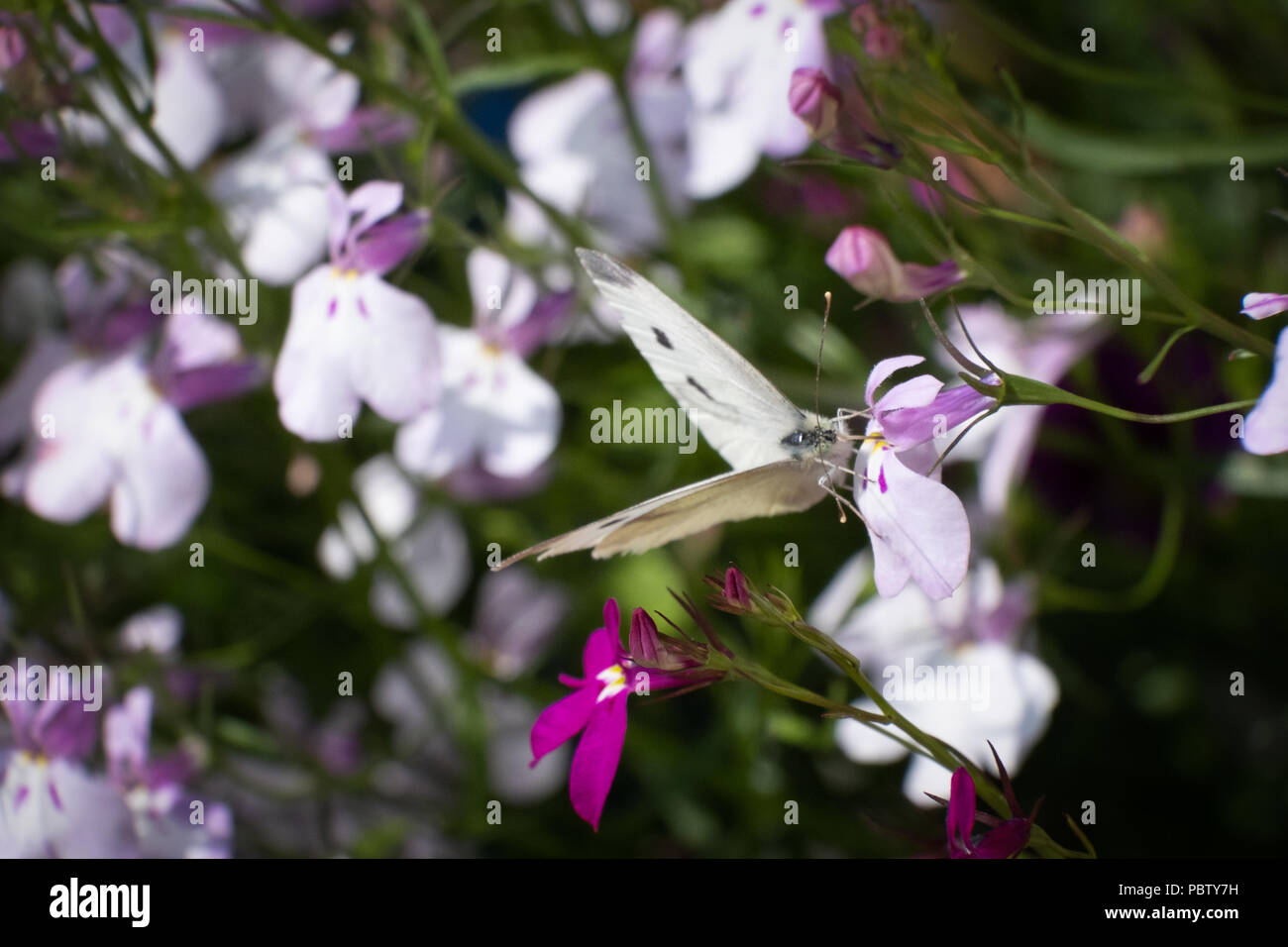 Close up photos of white and purple lobelia  with a cabbage white butterfly resting in the foreground - Stock Image