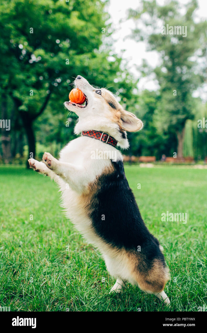 welsh corgi dog jumping with ball on green grass - Stock Image