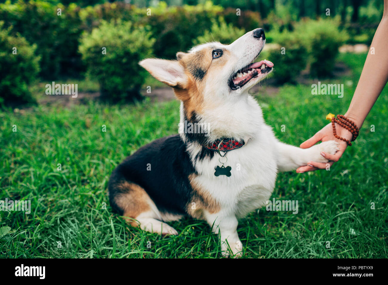 welsh corgi dog giving paw her owner, human hand and dog paw. - Stock Image