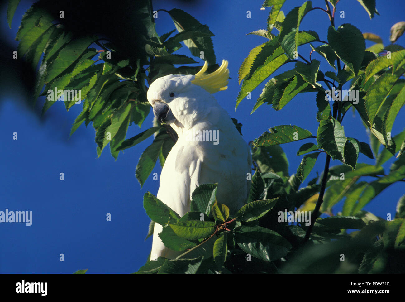 A SULPHUR-CRESTED COCKATOO (CACATUA GALERITA) IN A TREE IN THE ROYAL BOTANICAL GARDENS, SYDNEY, NEW SOUTH WALES, AUSTRALIA - Stock Image