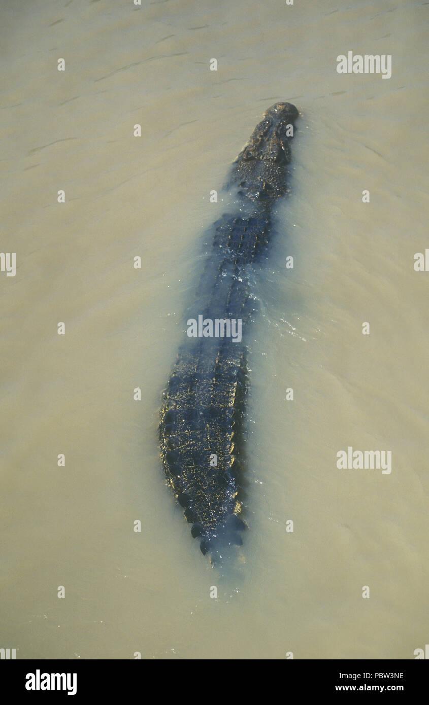 SALTWATER CROCODILE, CROCDYLUS POROSUS, ADELAIDE RIVER, NORTHERN TERRITORY, AUSTRALIA - Stock Image