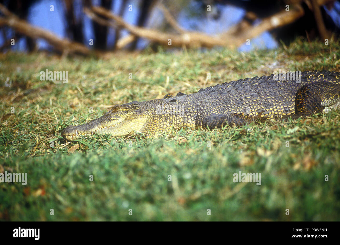 SALTWATER CROCODILE (CROCODYLUS POROSUS) ON THE BANKS OF THE REYNOLDS RIVER, NORTHERN TERRITORY, AUSTRALIA - Stock Image