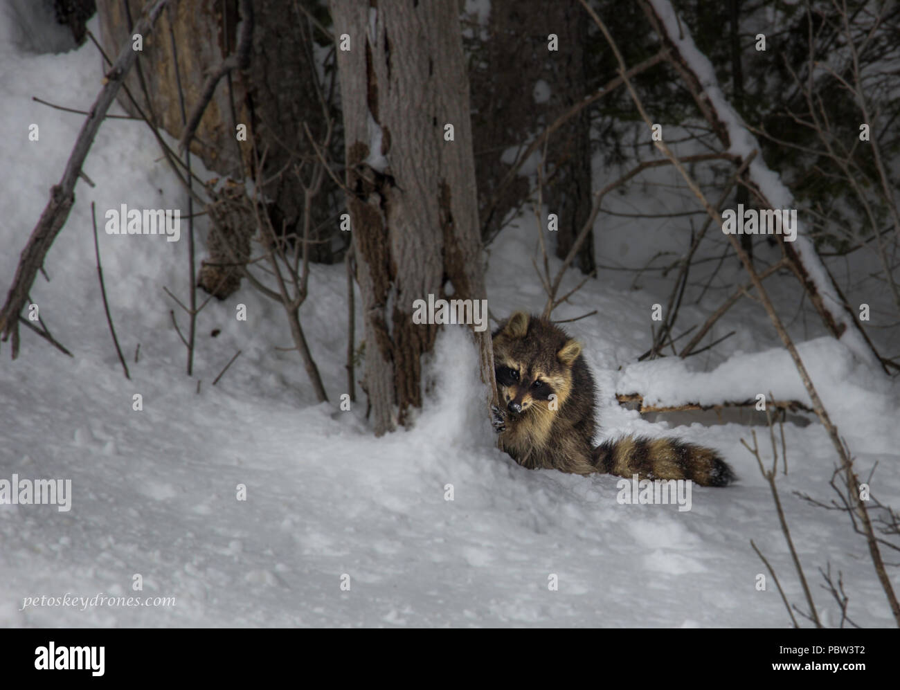 Shy racoon hiding behind a tree - Stock Image