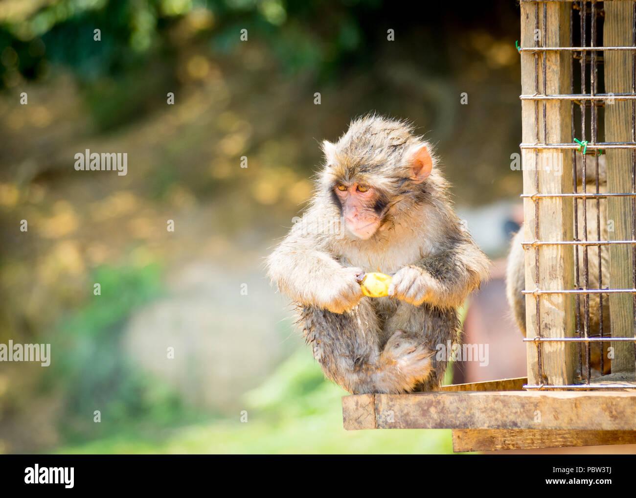 A juvenile Japanese macaque (Macaca fuscata), a.k.a. snow monkey, eats a banana at Iwatayama Monkey Park on Mount Arashiyama, Arashiyama, Kyoto, Japan Stock Photo