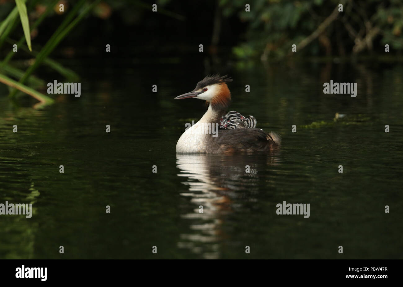 A family of stunning Great Crested Grebe (Podiceps cristatus) swimming in a river. The babies that are being carried on the parents back. - Stock Image