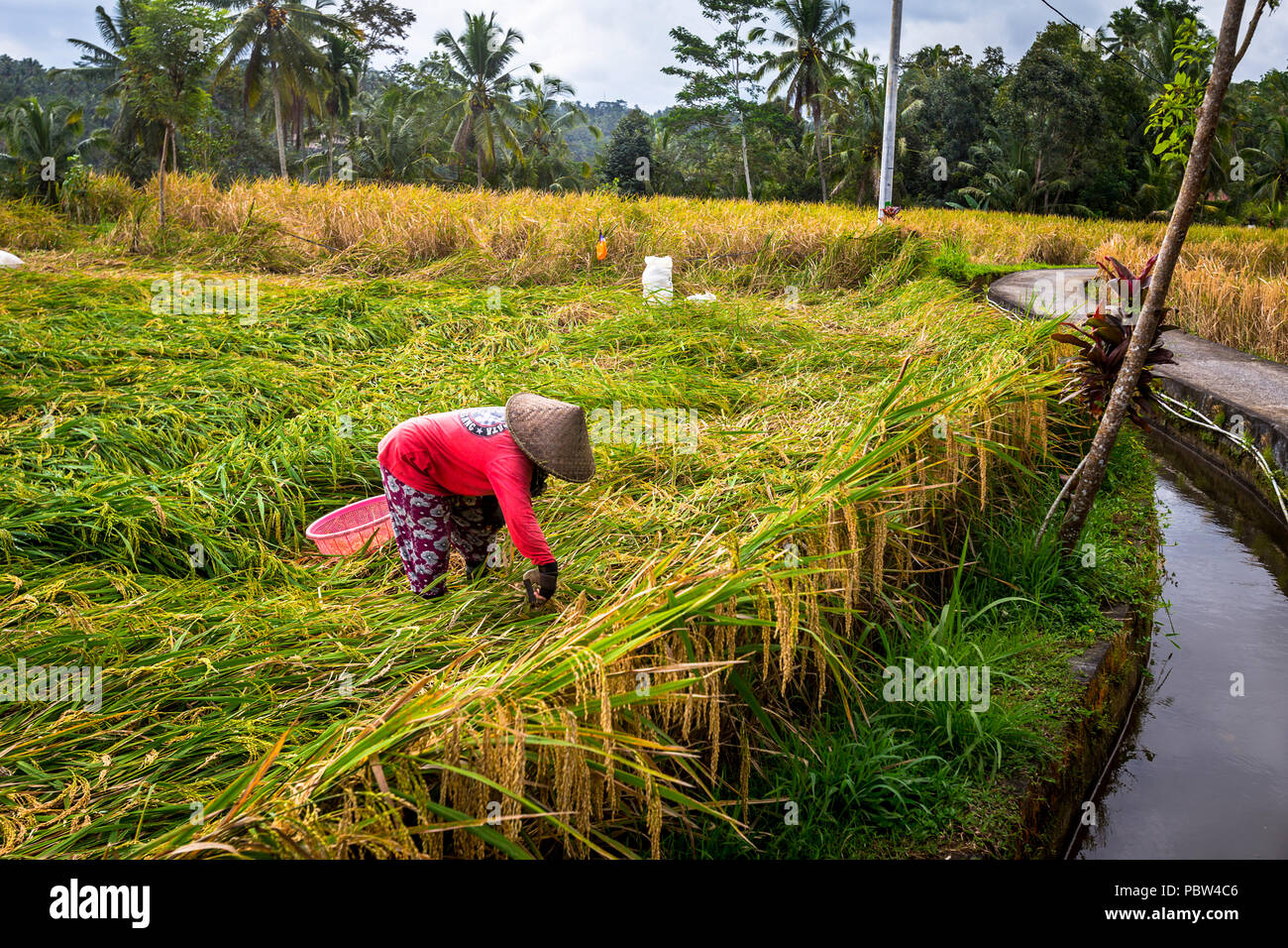 Rice Field Worker next to irrigation canal in Bali, Indonesia. - Stock Image