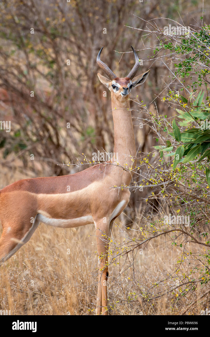 Gerenuk standing upright to reach leaves, National park of Kenya, Africa - Stock Image