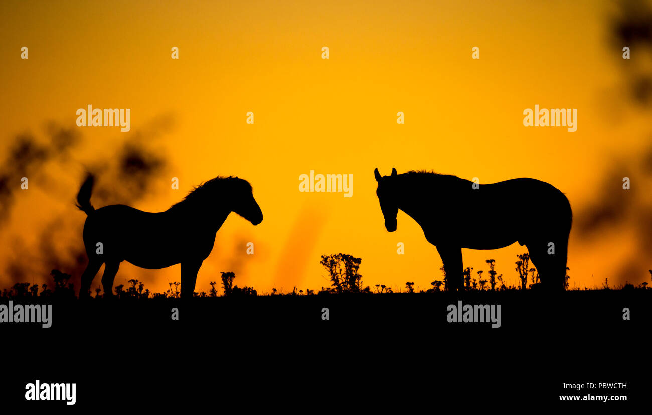 Horses at sunrise in north east England on a hot summer day in July during heatwave of 2018. UK Stock Photo