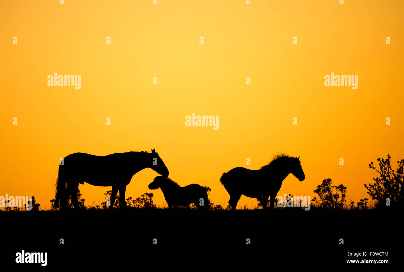 Horses at sunrise in north east England on a hot summer day in July during heatwave of 2018. UK - Stock Image