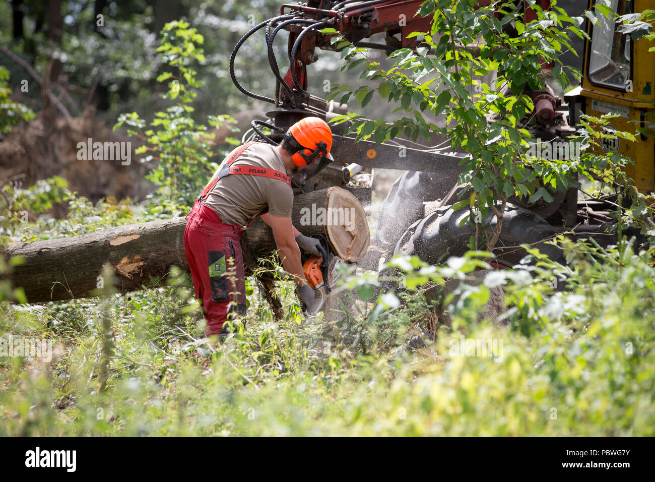 Herford, Germany. 30th July, 2018. Forester Paul Fubel works on the trunk of an oak with a chain saw. The State of North Rhine-Westphalia's Forest and Timber enterprise presents its Sustainability Report 2017. This includes the commercial annual report of the forestry as well as current information on climate change and nature conservation. Credit: Friso Gentsch/dpa/Alamy Live News - Stock Image