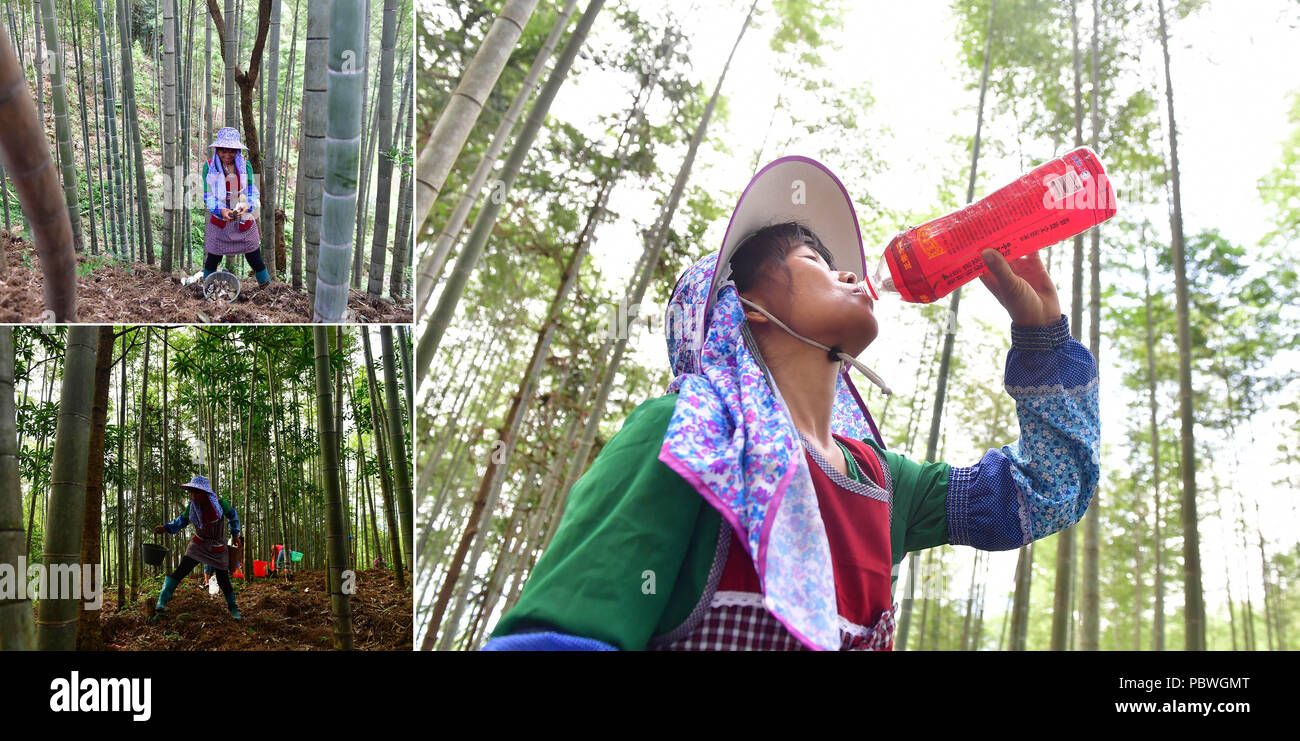 (180730) -- RONGSHUI, July 30, 2018 (Xinhua) -- The combined photo taken on July 27, 2018 shows Jia Xiuqin, an impoverished villager, collects bamboo fungus (L, top and bottom) and drinks water during the break (R) in Rongshui Miao Autonomous County, south China's Guangxi Zhuang Autonomous Region. Due to harsh environmental conditions, Rongshui has long been a less developed area in China. Up to now, there are still 76,800 impoverished people living in the county. In recent years, the local government carries out effective methods for poverty alleviation, helping local people to build roads, r - Stock Image