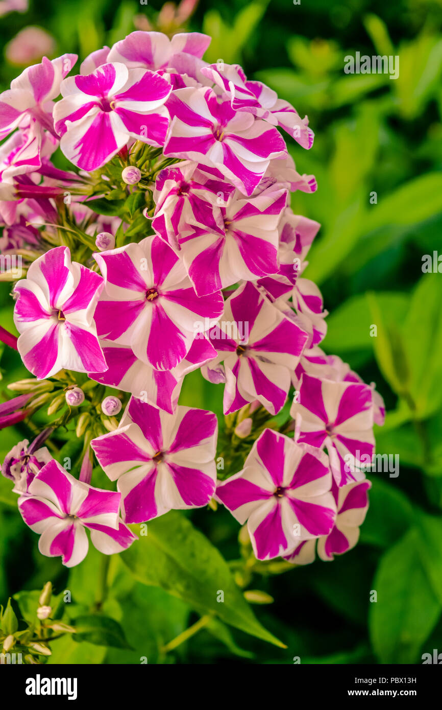 Beautiful Flowers Of Phlox Nature Scene With Blooming Garden Flowers Summer Floral Background Of Beautiful Gardening Stock Photo Alamy