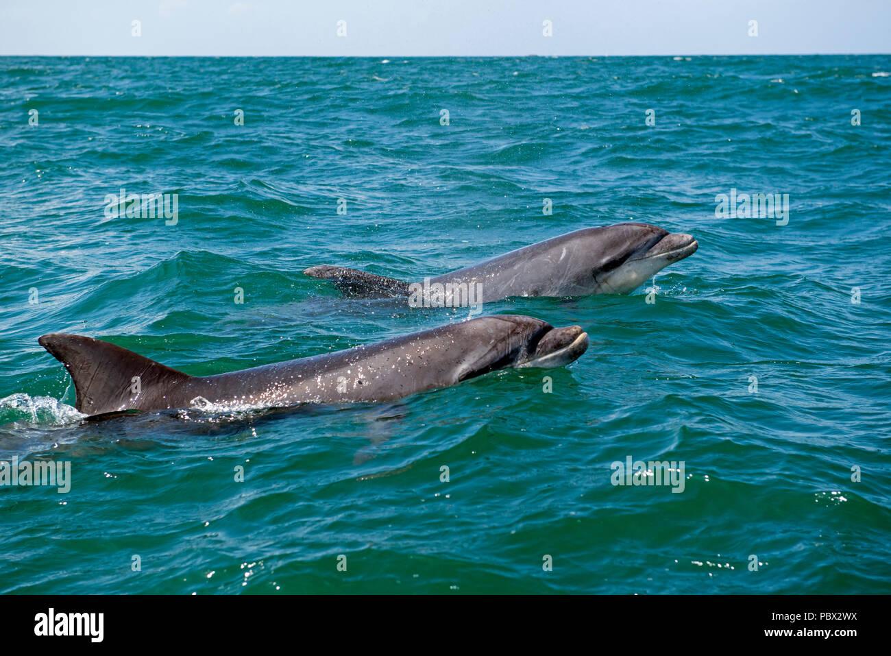 Bottlenose dolphin (Tursiops truncatus), Bretagne, France, Atlantic ocean - Stock Image