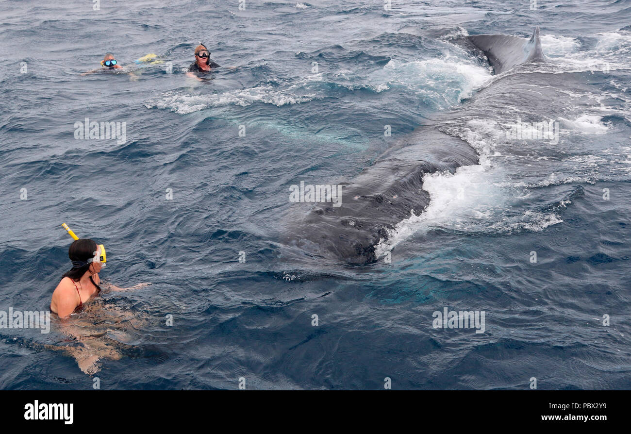 Humpback whale (Megaptear novaeangliae) with divers, Kingdom of Tonga. - Stock Image