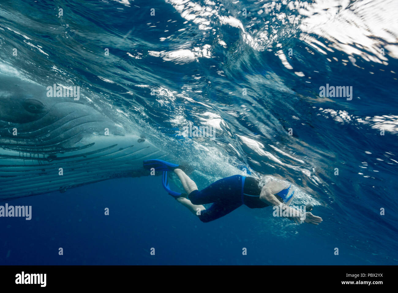 Humpback whale (Megaptear novaeangliae) with diver, Kingdom of Tonga. - Stock Image