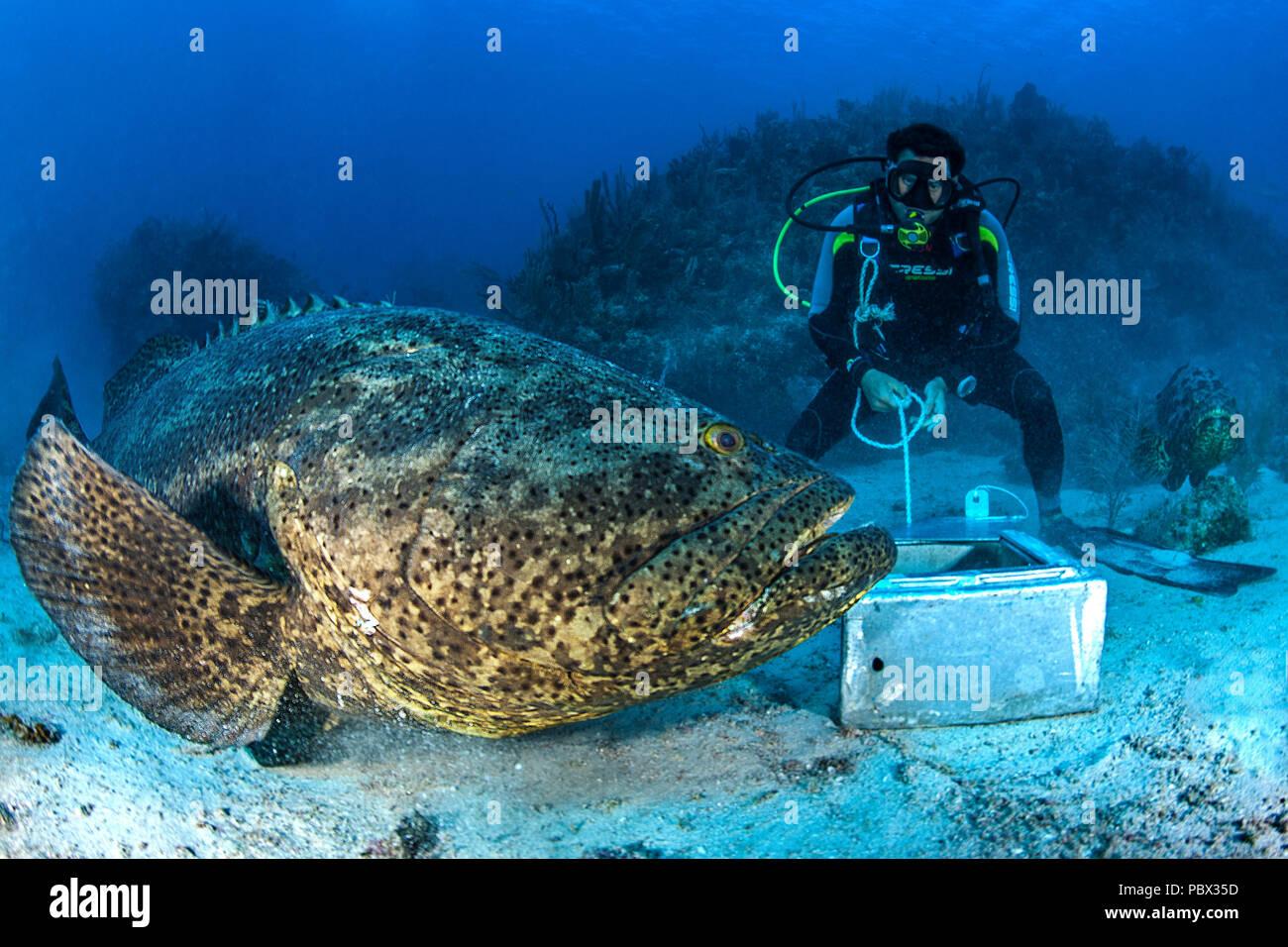 Goliath Grouper Epinephelus Itajara And Diver Jardines De La Reina National Park Cuba Stock Photo Alamy
