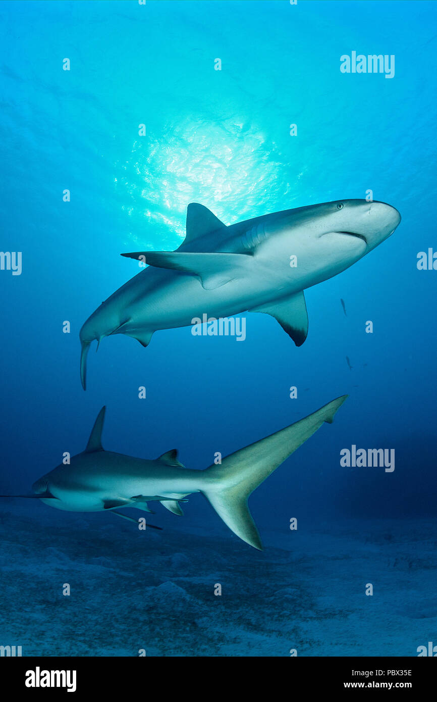 Caribbean reef sharks (Carcharhinus perezi), Jardines de la Reina National Park, Cuba Stock Photo