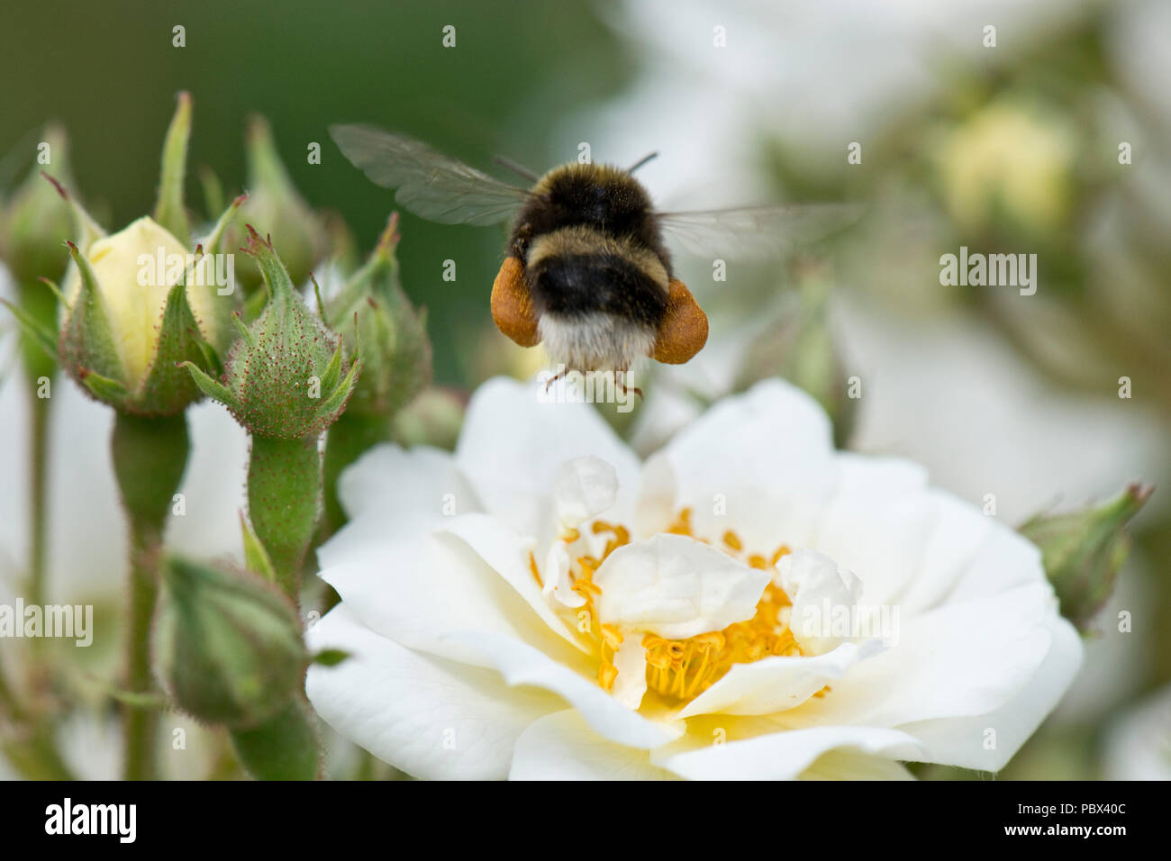 White-tailed bumblebee, Bombus lucorum, worker taking off fully laden after collecting pollen from a whjite rose flower, June Stock Photo