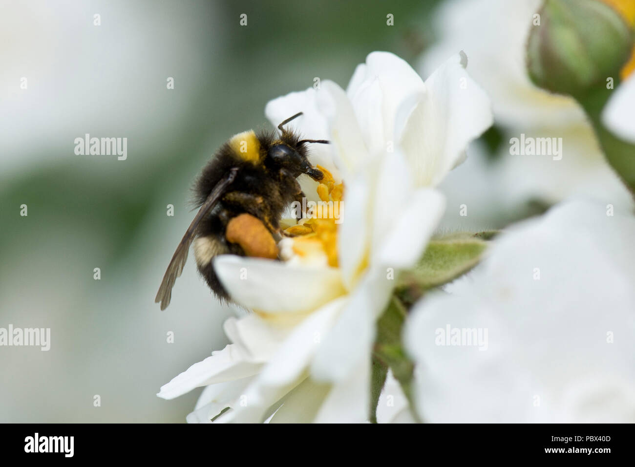 White-tailed bumblebee, Bombus lucorum, feeding on nectar and collecting pollen in leg baskets from a white rose flower, June - Stock Image