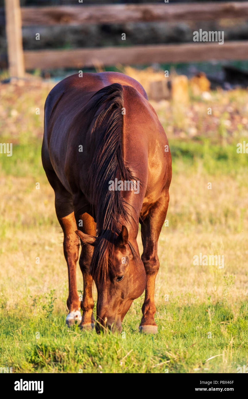 Horse in pasture at sunset; near Salida; Colorado; USA - Stock Image