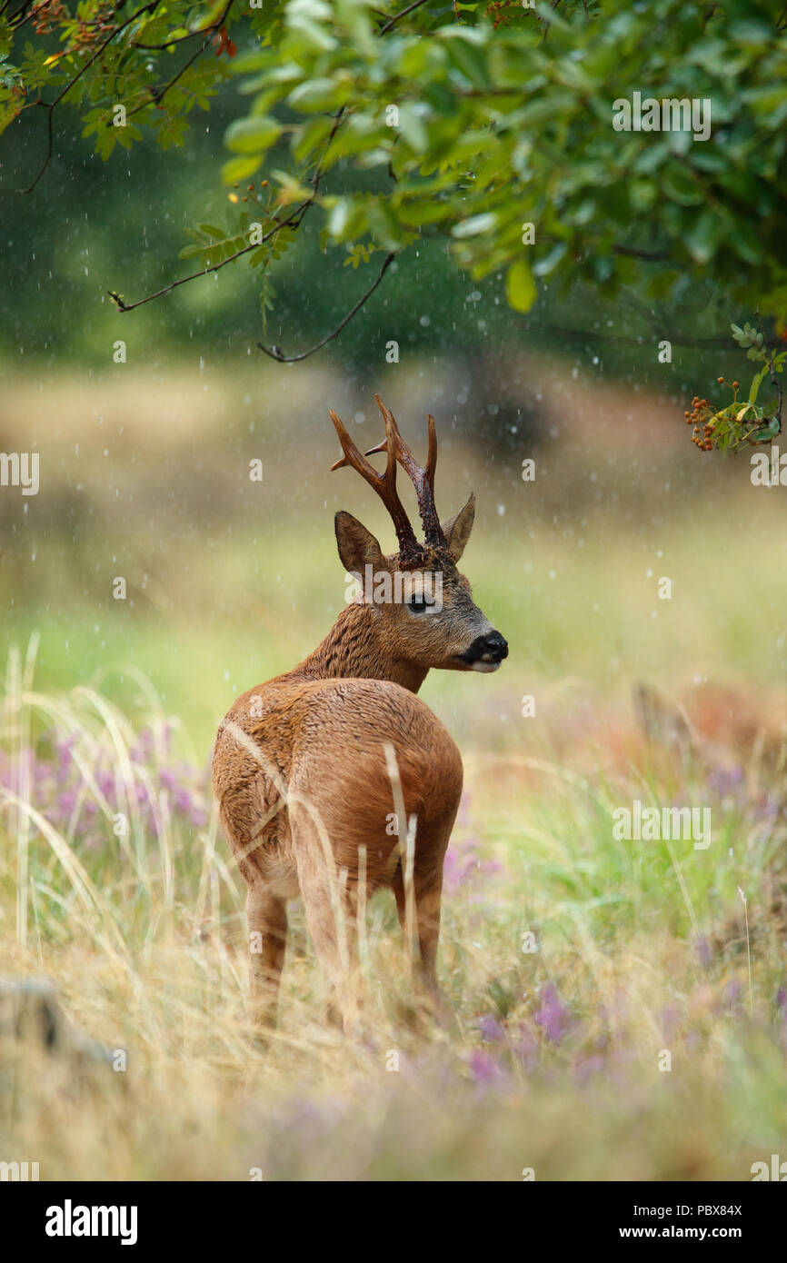 Roebuck in the summer rain - Stock Image
