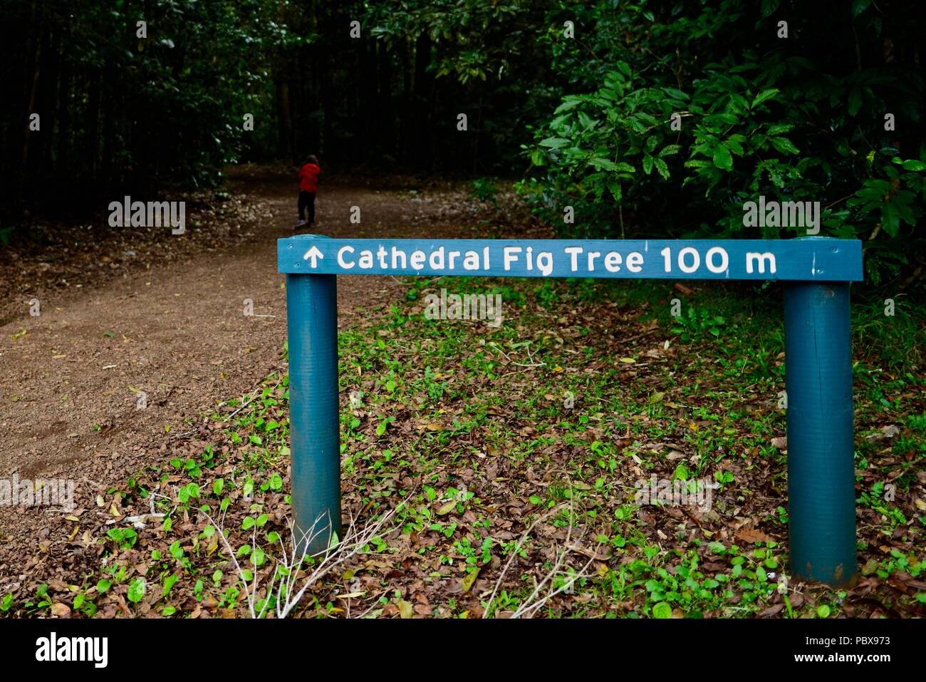 The Cathedral Fig Tree 100m sign, A huge fig Atherton Tablelands, QLD, Australia Stock Photo