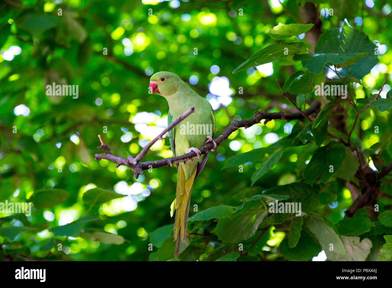 Green parakeet sitting on a branch in a tree, Hyde Park, London, UK - Stock Image