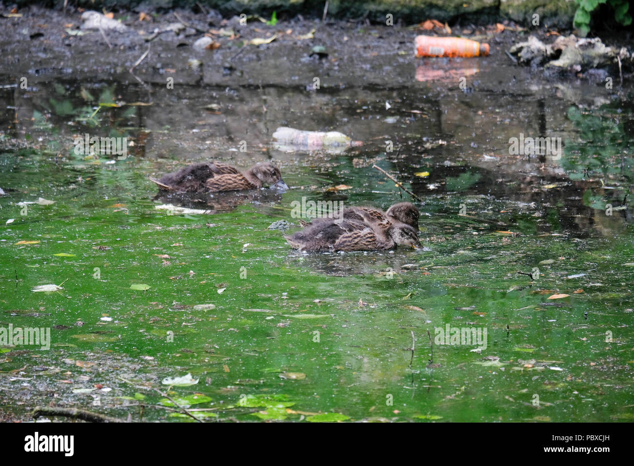 Ducks and ducklings swimming on the pond by Valley Bridge