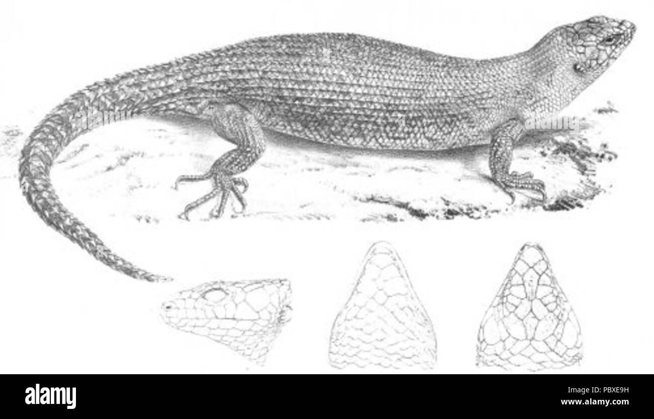 180 Egernia Cunninghami (Discoveries in Australia) - Stock Image