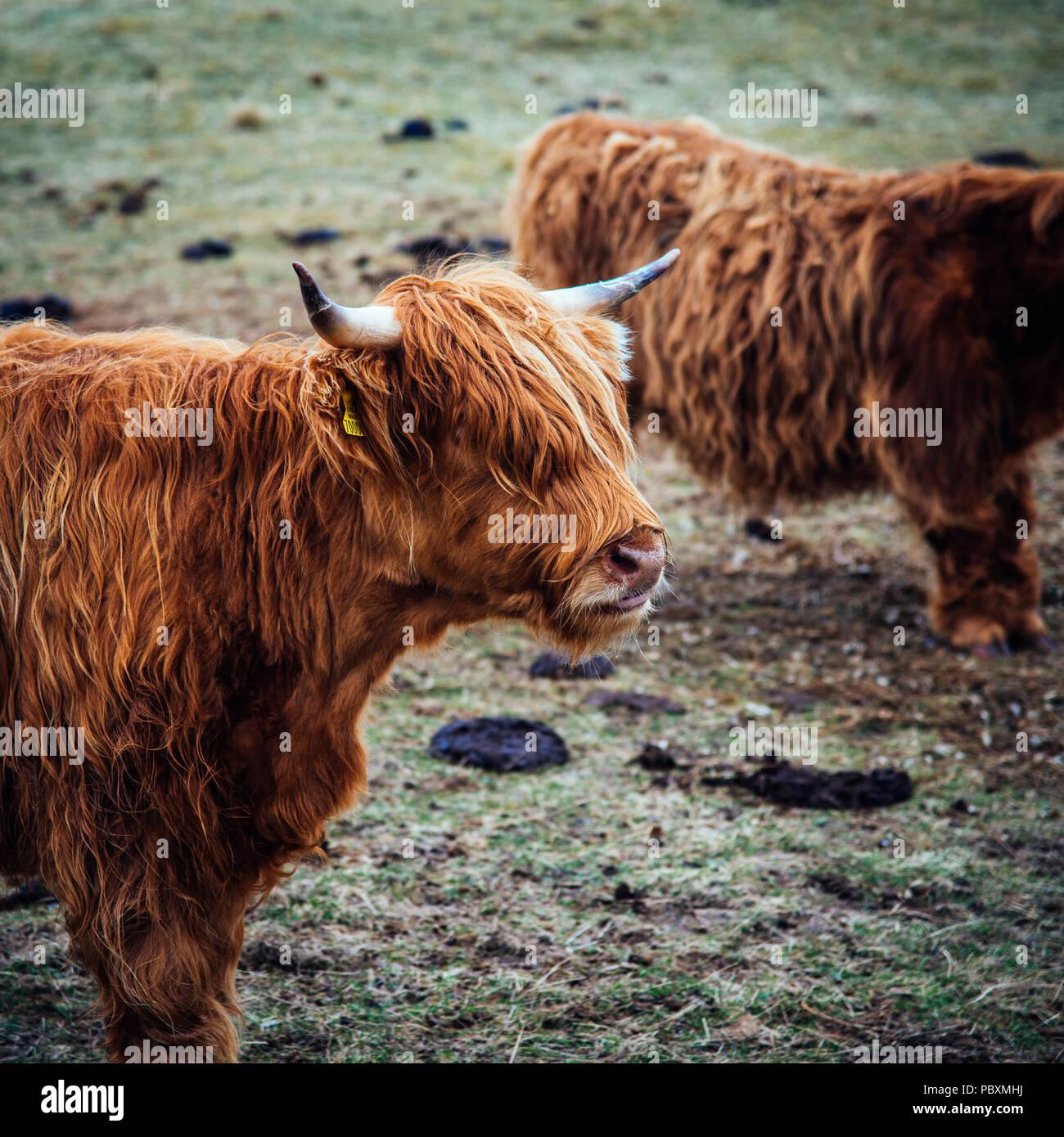 Highland cow, Isle of Harris, Scotland, UK, Europe - Stock Image