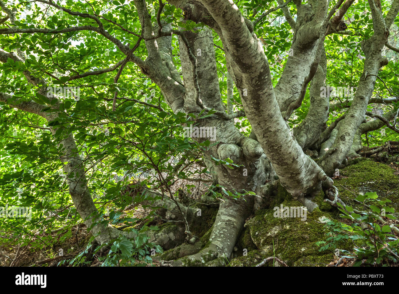 beech secular in Monte Morrone - Stock Image