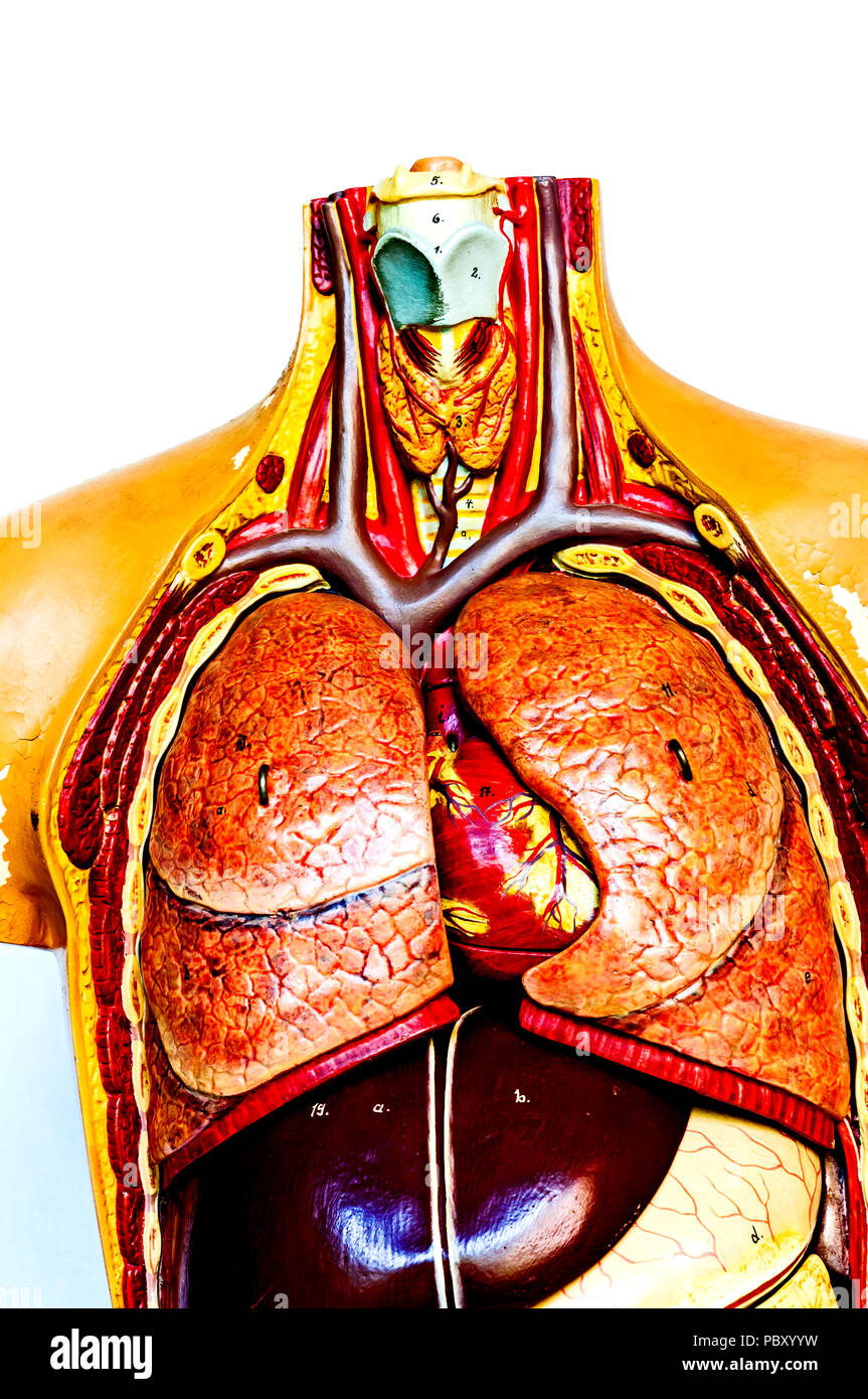 Anatomical model; anatomisches modell - Stock Image