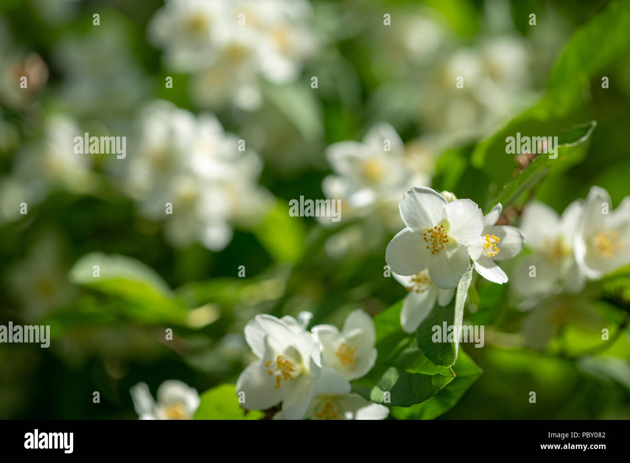 Beautiful Blooming Jasmine Branch With White Flowers At Sunlight In