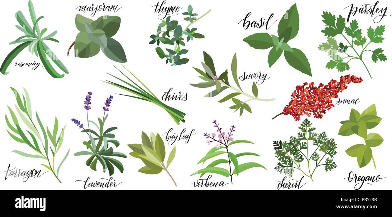 Set of popular culinary herbs with hand written names. Rosemary, majoram, thyme, basil, parsley, chives, savory, sumac, tarragon lavender bay leaf verbena chervil oregano - Stock Vector