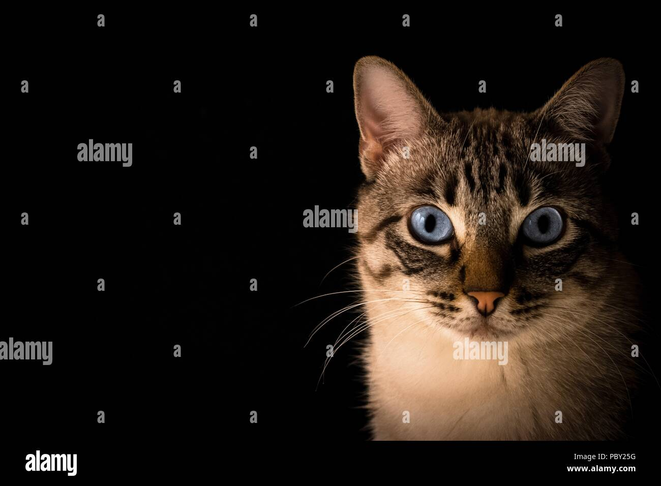 Portrait of a tabby cat on a black background - Stock Image
