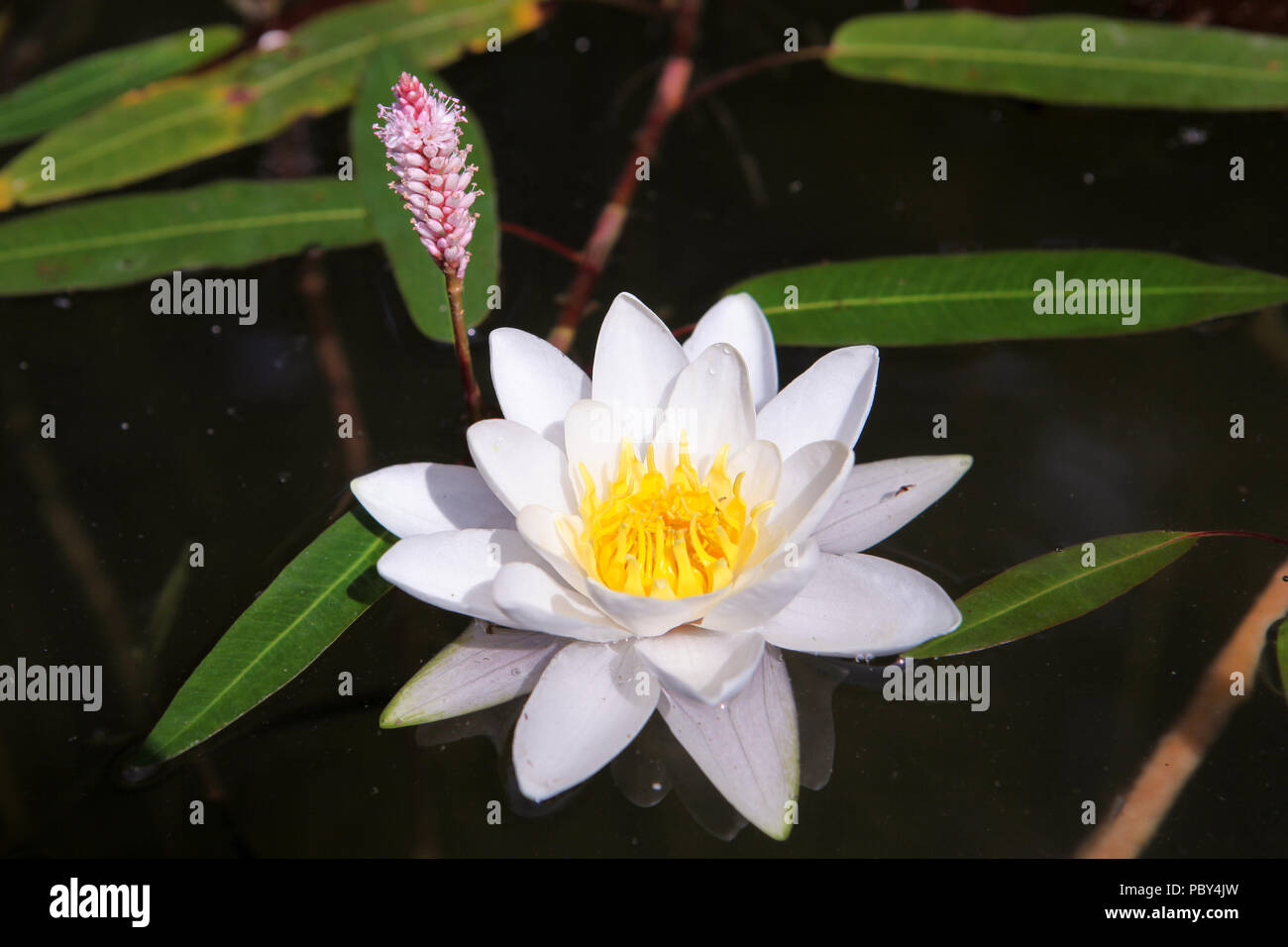 Beautiful lotus flower white nymphaea alba or water lily among beautiful lotus flower white nymphaea alba or water lily among green leaves with yellow pollen and little pink flowers on the background close up izmirmasajfo