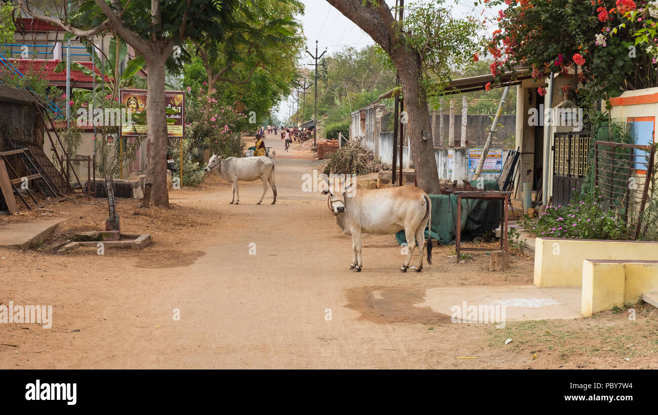 Kanadukathan, India - March 12, 2018: Street scene in the town in the Chettinad region. Enjoying a sacred status in Hinduism, cows wander freely here - Stock Image